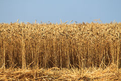 Field with wheat Stock Image