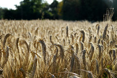 Field of wheat. Macro of wheat ears in a field Stock Image