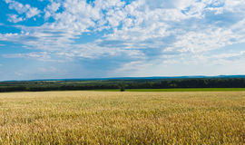 A field of wheat Royalty Free Stock Image