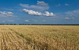A field of wheat Stock Photos