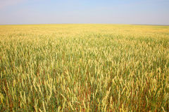 Field with wheat. In the summer Royalty Free Stock Photography