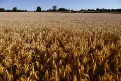 Field of wheat. Large wheat field before harvesting Stock Images