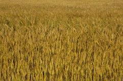 Field of Wheat. A field of wheat - can be used as a background texture Stock Photography