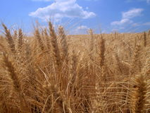 Field of wheat Royalty Free Stock Photos