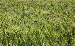 A field of wheat Stock Photo
