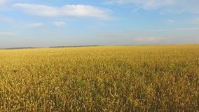 A field of wheat stock video footage