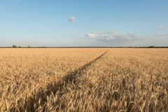 Field of wheat against the background of a bright sky. Future bread. Agrarian landscape.  stock images