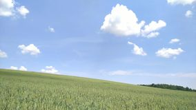 A field of wheat against the blue sky and white clouds. Field of wheat against the blue sky and white clouds. timelapse stock video footage