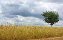 Field of wheat in alentejo. Stock Photo