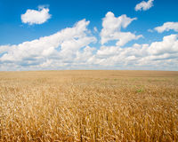 Field of wheat and beautiful blue sky Stock Photos