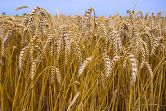 Field of wheat. Beautiful field of wheat ready for harvest, photography Stock Photos