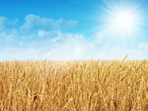 Field of wheat. Beautiful field of ripe wheat Royalty Free Stock Images