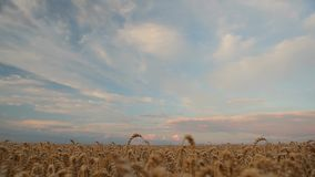 Field of wheat and beautiful sky with pink clouds stock footage