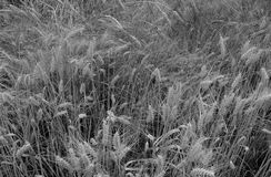 Field of wheat in black and white Stock Photo