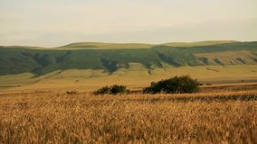 Field of wheat blown by the wind with big hills on background and small trees stock video