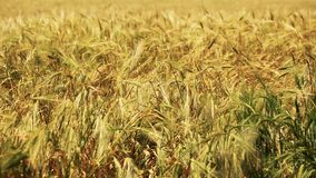 Field of wheat blown by the wind close up view stock video footage