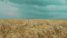 Field of wheat stock video footage