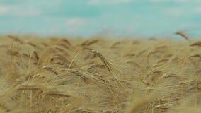 Field of wheat stock video