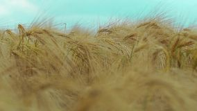 Field of wheat stock video footage