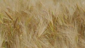 Field of wheat stock footage