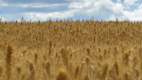 Field of wheat and blue sky. Long focus 2 stock video