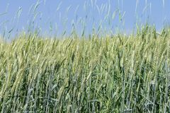 Field of wheat with blue sky over Stock Photo