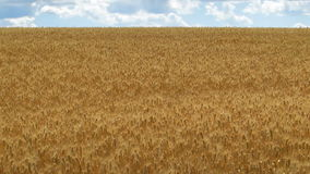 Field of wheat and blue sky. Wide angle stock video footage