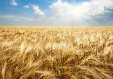 Field of wheat in bright sunlight, agricultural background Stock Photos