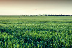 Field of wheat with brown sky Stock Images