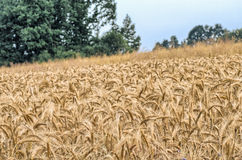 Field of wheat, cereal grain Stock Photos