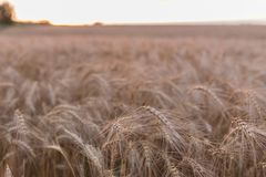 Field with wheat close-up royalty free stock images