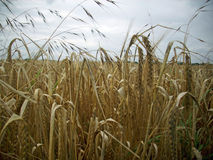 Field of wheat. Close up of the edge of a field of wheat ready to be harvested with wild oats in the foreground and grey sky in the background Royalty Free Stock Image