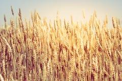Field of wheat. Closeup of field of golden wheat Stock Photo