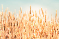 Field of wheat. Closeup of field of golden wheat Stock Photos