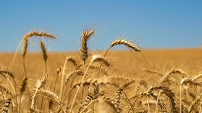 Field of wheat. Closeup on a wheat in the sun before harvest Royalty Free Stock Photo