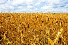 Field wheat Stock Photos