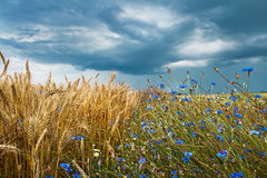 Wheat Field with Cornflowers Royalty Free Stock Photos