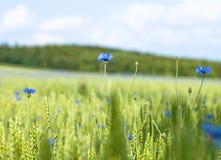 Field of Wheat and Cornflowers Stock Photos
