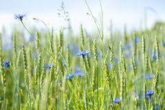 Field of Wheat and Cornflowers Stock Image