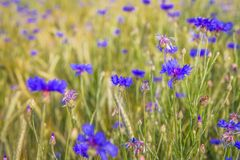 Wheat and cornflowers field stock image