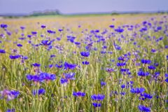 Wheat and cornflowers field stock photo
