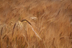 Field of wheat crop. Closeup of a field of barley wheat crop stock photo