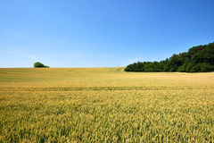 Field of wheat crop with blue sky Stock Photography