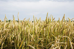 Field of wheat,crop,green Stock Image