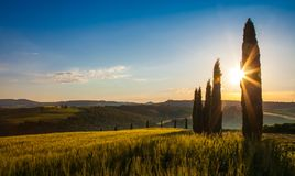 Field of wheat and cypresses at sunrise Stock Photos