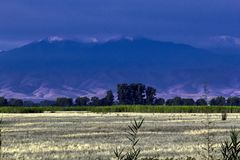 Field of wheat at dawn on a background of bushes and mountains stock photo