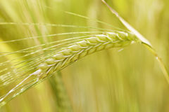 Field of wheat Stock Images
