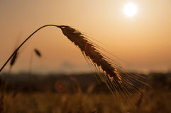 Field of wheat. Ear of corn in back light during sunset Royalty Free Stock Photos