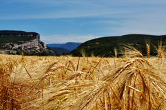 A field of wheat. Wheat ears against the blue sky and the Crimean Mountains Stock Photography