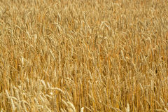 Field of wheat ears. Wheat background Royalty Free Stock Photos